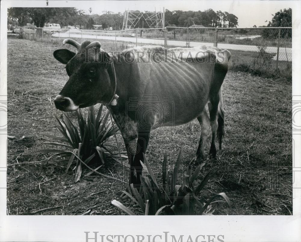 1979 Press Photo A Cow From A Mistreated Menagerie Of Animals At