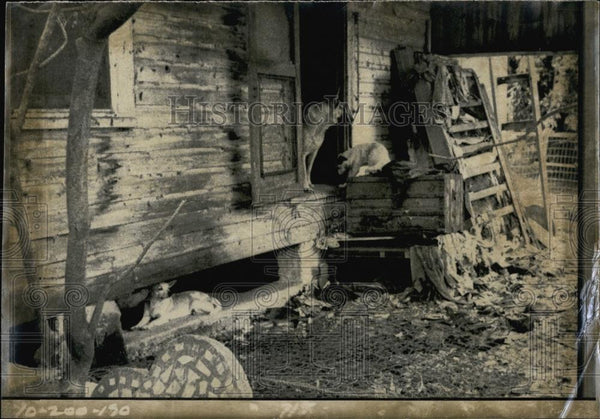 Press Photo Stray Dogs in Abandoned House - RSL66499 - Historic Images