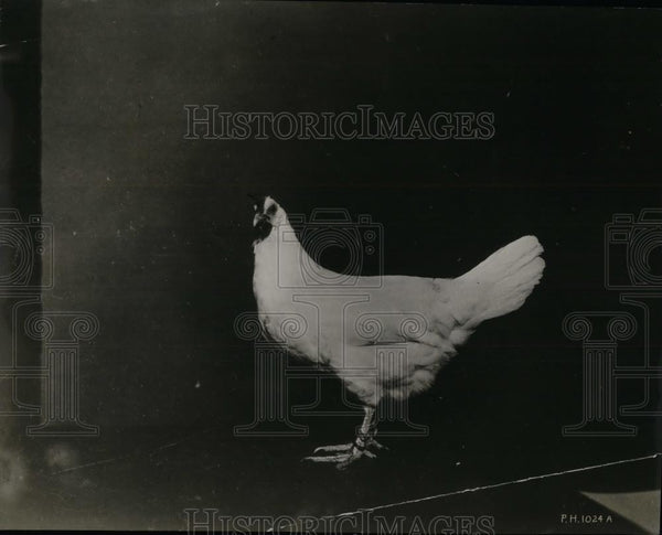 1926 Press Photo A poultry chicken at an exhibit - nea32765 - Historic Images