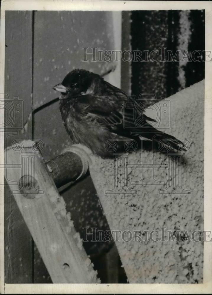 1940 Press Photo Sparrow Takes Refuge From Winter Storm in Omaha - nea30014 - Historic Images
