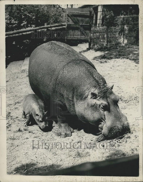 Press Photo Hippopotamus & calf born at Whipsnade - Historic Images