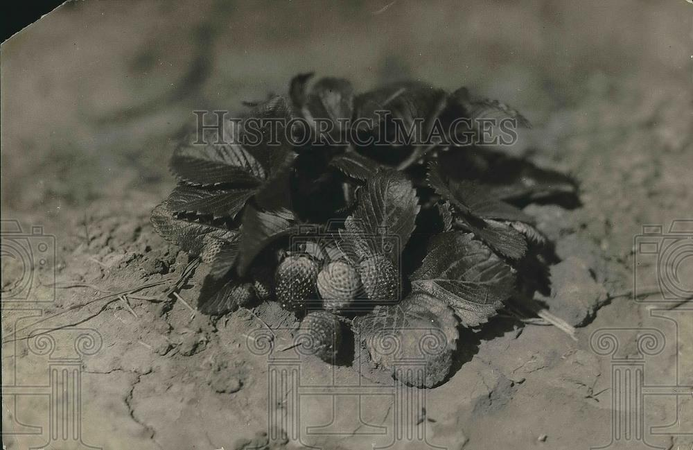 1920 Press Photo Irrigation in south - Strawberries - nea68693 - Historic Images