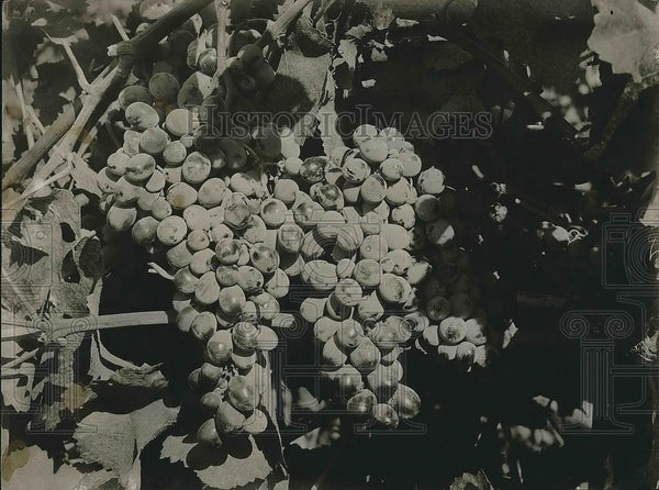 1923 Press Photo Tokay Grapes Closeup in Exeter, California, Winery - nea68247 - Historic Images