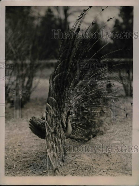 1922 Press Photo Peacock with Extended Fan in Washington DC Zoological Park - Historic Images