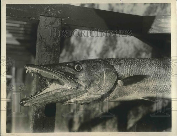 1931 Press Photo A barracuda caught in waters off Florida coast - nea88918 - Historic Images