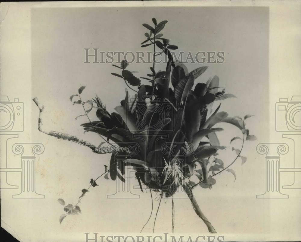 1927 Press Photo Clump of Aerial Plants at the Field Museum in Chicago - Historic Images
