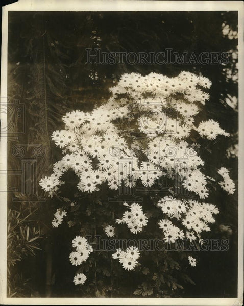 1927 Press Photo A summer daisy display ay NY Botanical gardens - Historic Images