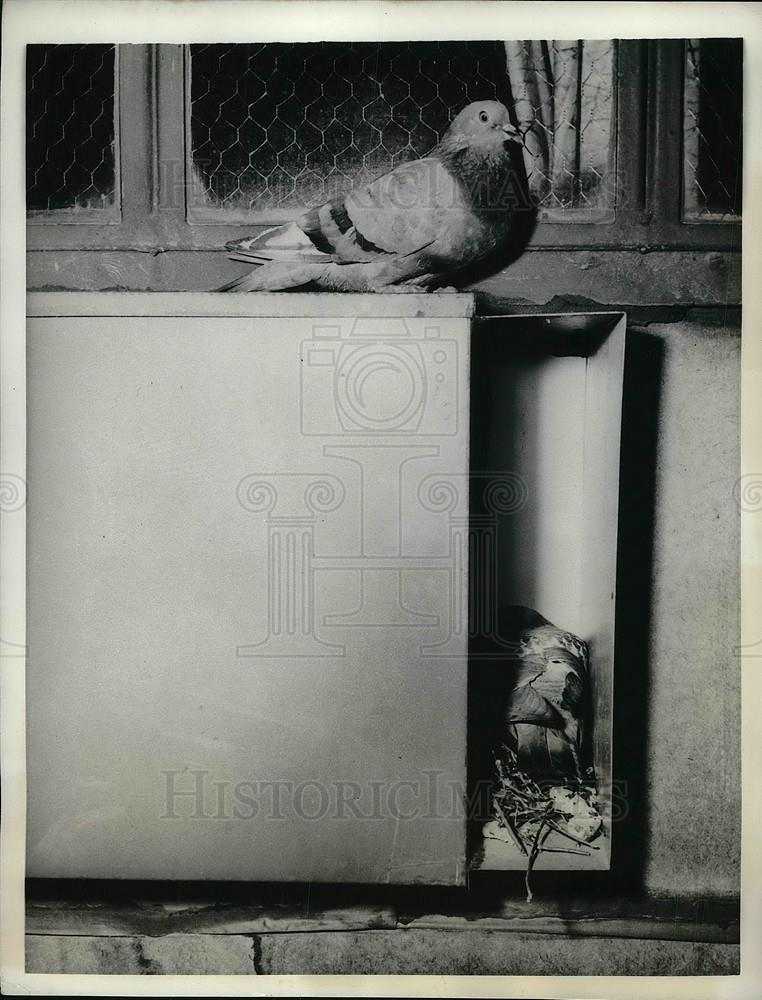 1956 Press Photo Chicago, Ill pigeons nesting in apartment AC unit ...