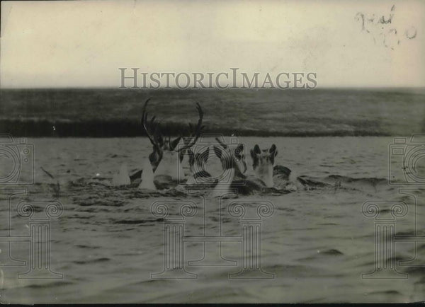 1922 Press Photo Band Of Caribou Migrate To Winter Grounds - Historic Images
