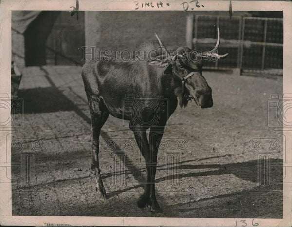 1921 Press Photo A young moose at Lincoln Park zoo in Chicago, Ill - Historic Images