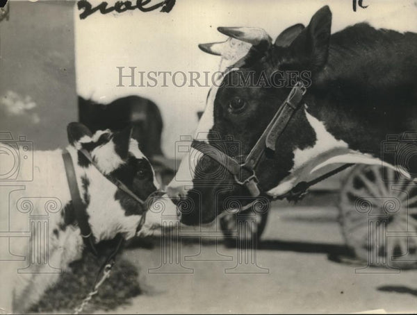 1921 Press Photo Molly, The Cow Kisses Mama Good-Bye - Historic Images