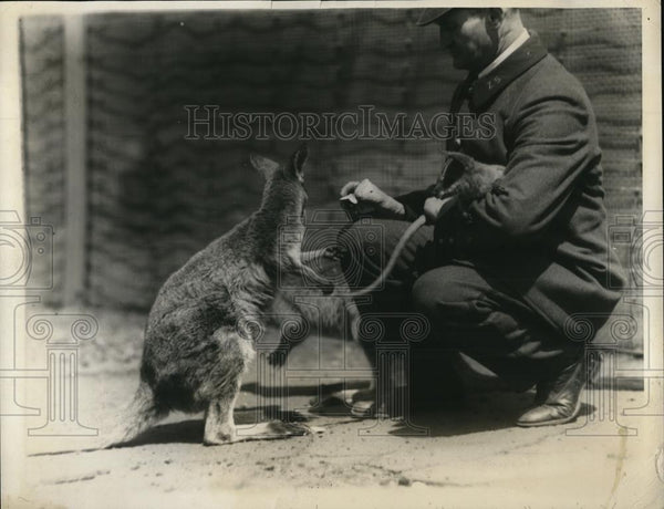 1924 Press Photo Mother Kangaroo in the Bronz Park Zoo, feeding - Historic Images