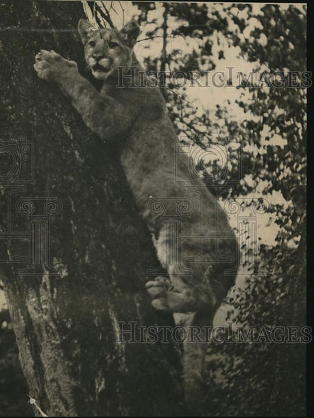 1924 Press Photo Lion On His Way Up The Tree, Trying To Get Away From The Dogs - Historic Images