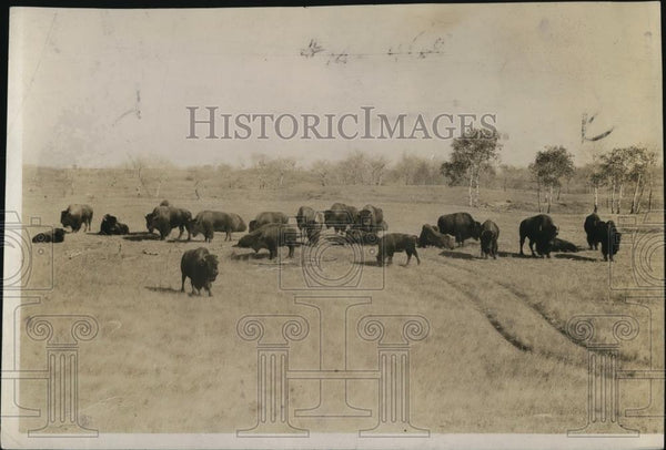 1923 Press Photo Buffalos In Washington Park, Animals - Historic Images