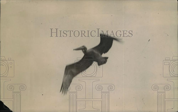 1920 Press Photo Pelican flying in the sky - Historic Images