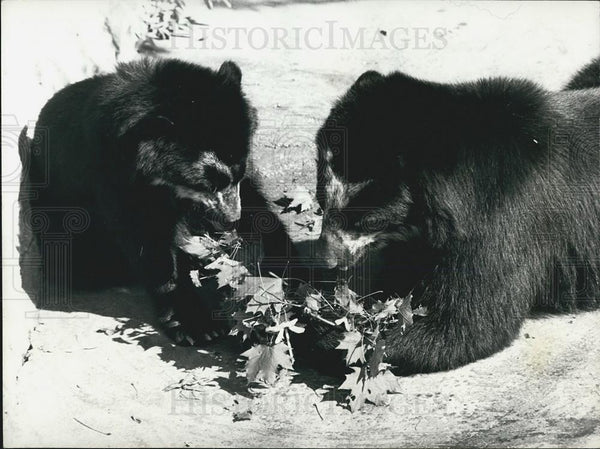 Press Photo Swiss Basle Zoo Bear Learns How To Use Stick To get Maple Leaves - Historic Images