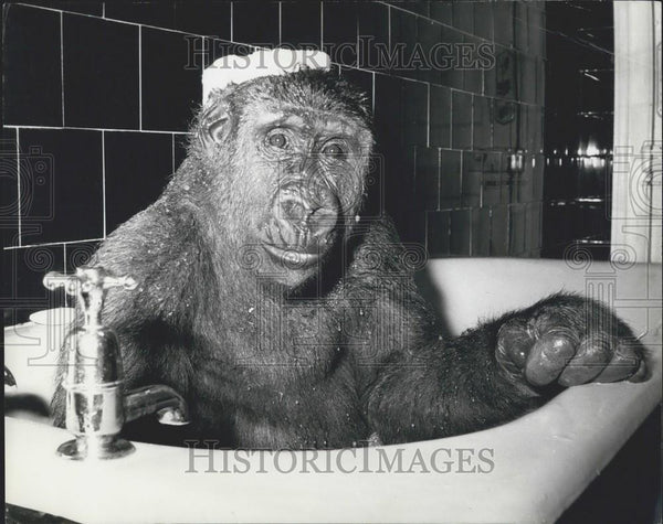 Press Photo Gorilla Plays With Sponge On His Head While Taking A Bath - Historic Images