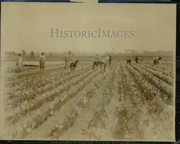 1927 Press Photo Bulb field near Dayton, Fla during Holland's bulbs importation - Historic Images