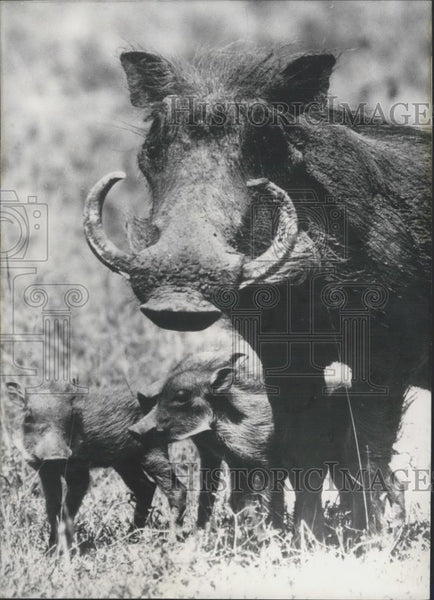 1966 Press Photo African Warthog and Babies. - Historic Images