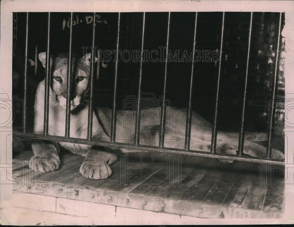 1920 Press Photo Nelli the puma in the Lincoln Park Zoo - Historic Images