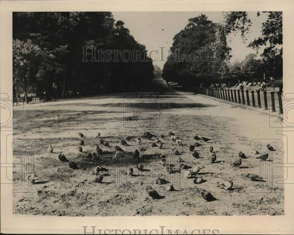 1939 Press Photo London England pigeons  at Hyde Park - Historic Images