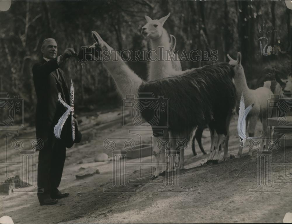1921 Press Photo Senator Reed Smoot of Utah & llamas at a zoo - Historic Images