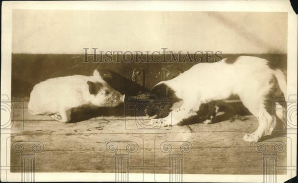 1919 Press Photo A puppy & a piglet at a play session - Historic Images