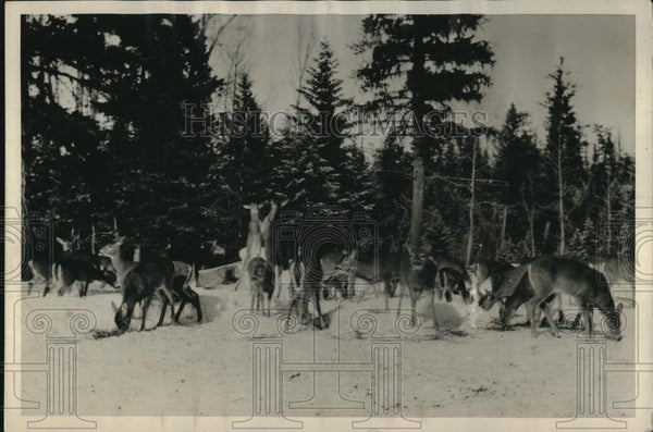 1928 Press Photo Glacier National Park Rocky Mt deer herd in the snow - Historic Images