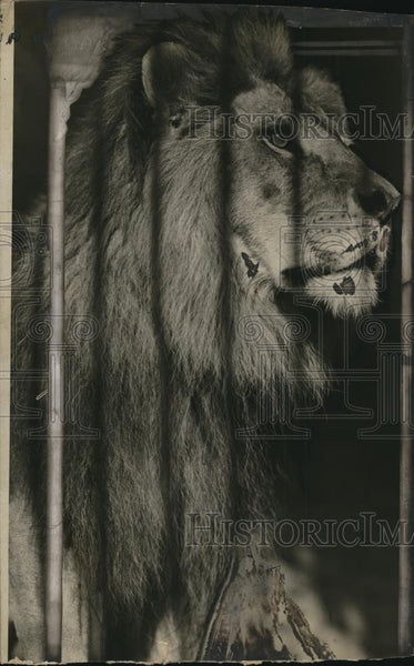 1925 Press Photo A lion in Cinncinati zoo shipped to Cleveland - Historic Images