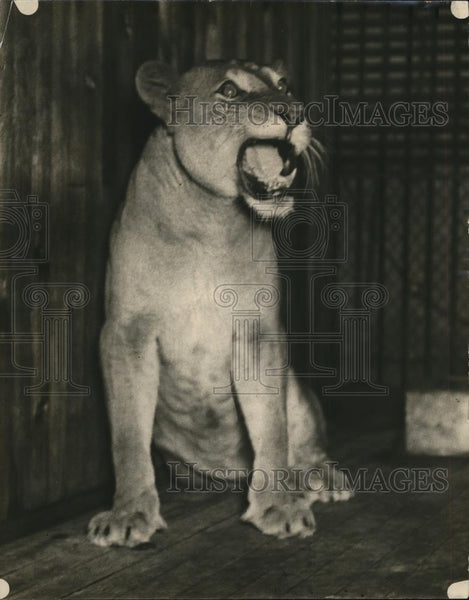 1923 Press Photo Bridget the lioness in her enclosure - Historic Images