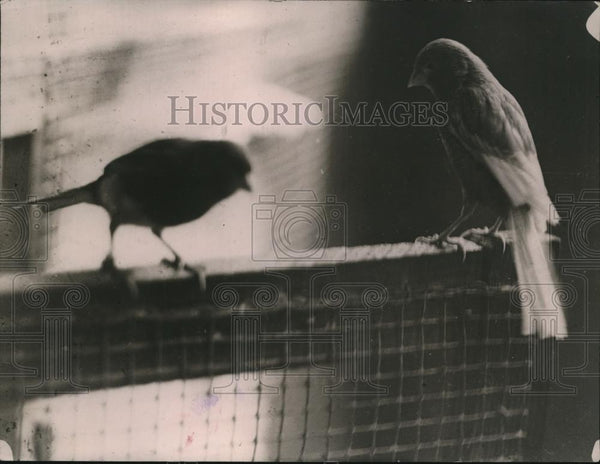 1920 Press Photo Canaries owned by Mrs Emily Fowler in Wash DC - Historic Images