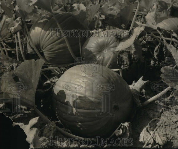 1936 Press Photo The pumpkins are all ready for harvesting - orb38602 - Historic Images