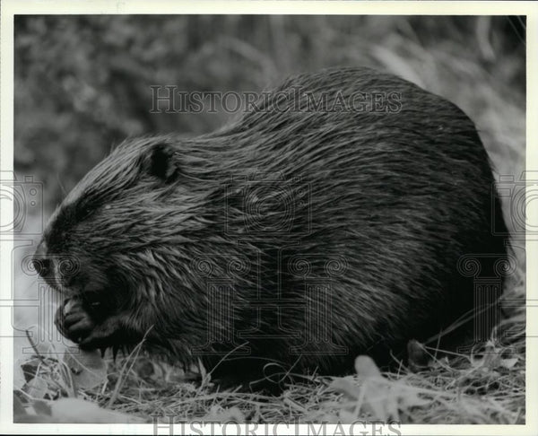 1992 Press Photo Leaves, Twigs and Bark Make Up Beavers Diet - spp00808 - Historic Images