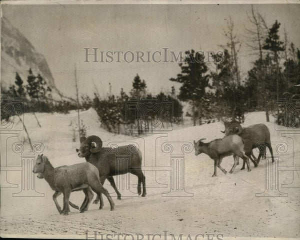 1924 Press Photo Rare Mountain Rams Begin Unseasonal Winter Routine - nef31905 - Historic Images