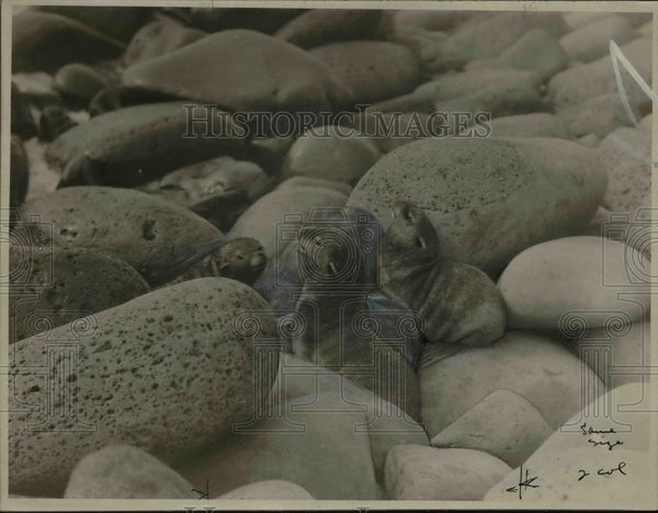 1923 Press Photo Baby Seals Amidst Rocks - nef31170 - Historic Images