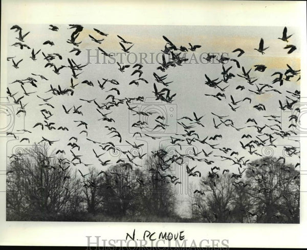 1989 Press Photo A flock of Canada geese move from feeding area Vancouver Lake. - Historic Images