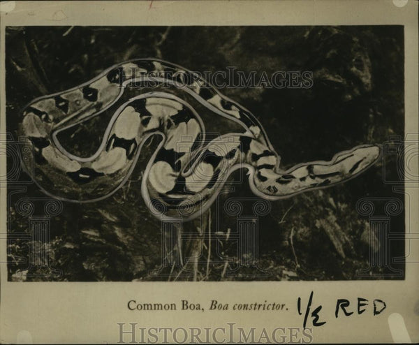 1921 Press Photo Common Boa Constrictor Snake - neo04238 - Historic Images