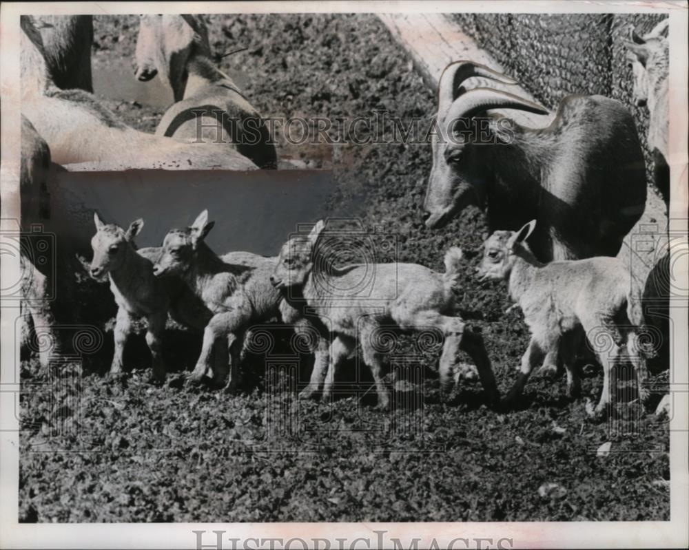 1861 Press Photo Lambs at Cleveland Zoo are Barbary Sheep  - neo05303 - Historic Images