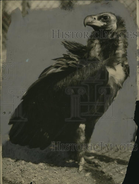 1924 Press Photo Bearded vulture in a natural setting - neo24082 - Historic Images