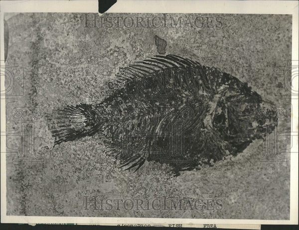 1931 Press Photo fish fossil prehistoric collection - Historic Images