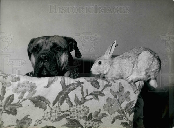 Press Photo Mastiff Rabbit Lynn Tetelmen Golders Green London On Furniture - Historic Images