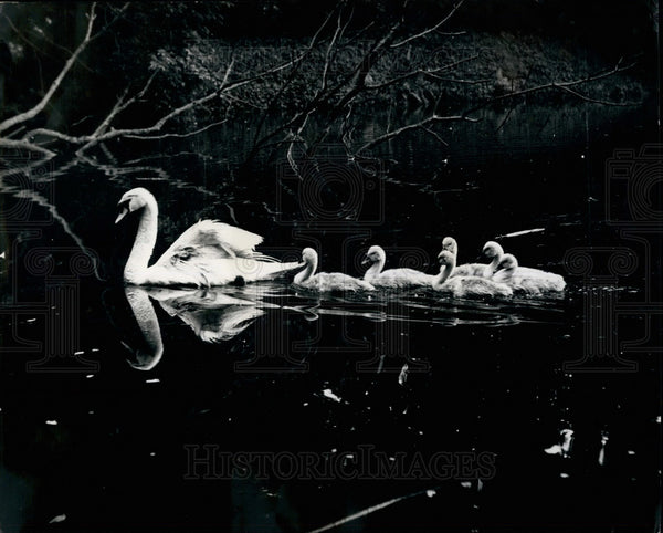 Press Photo Delilah the swan and her cynet babies - KSB25659 - Historic Images