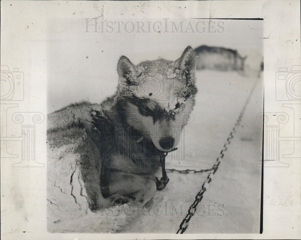 1947 Press Photo Snow Sheepdog Sledding - Historic Images