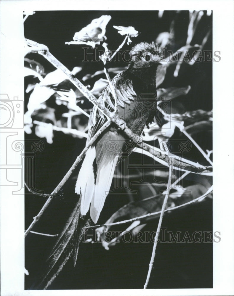 1991 Quetzal beautiful bird Central America - Historic Images