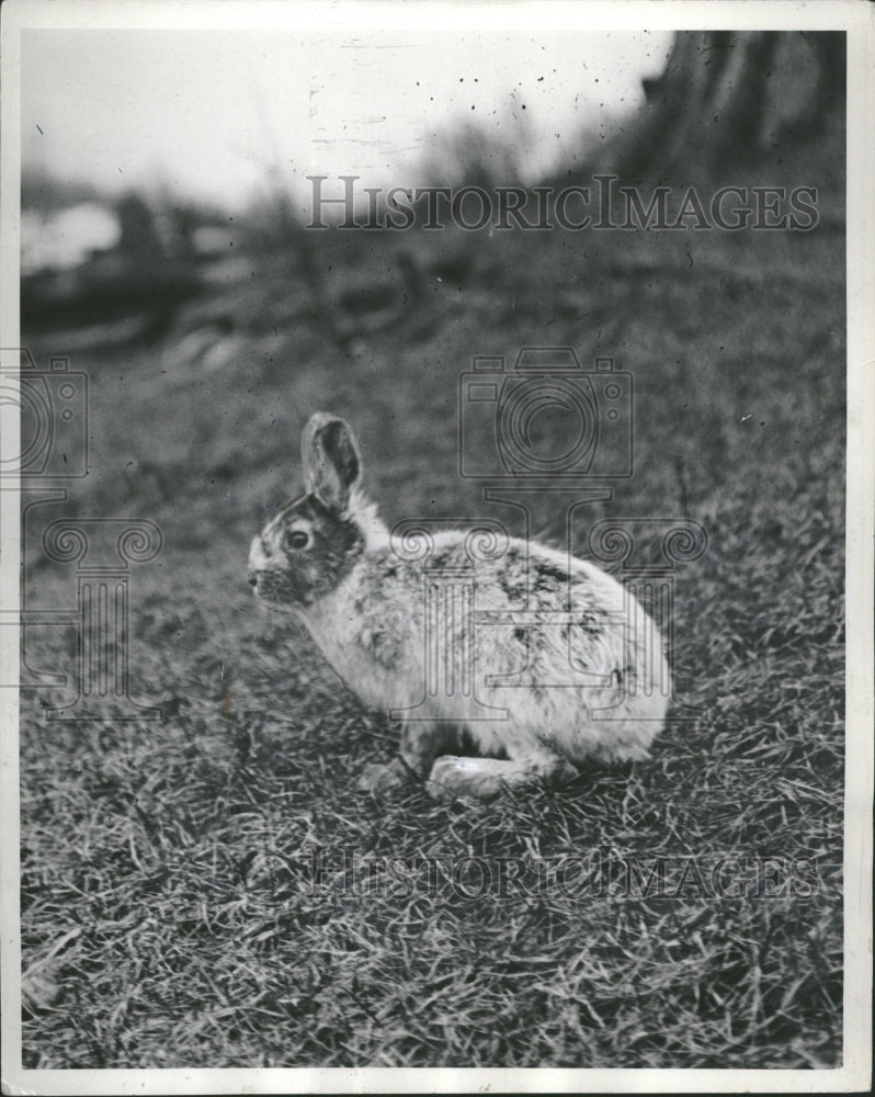 1939 Jack Rabbit in an open field - Historic Images