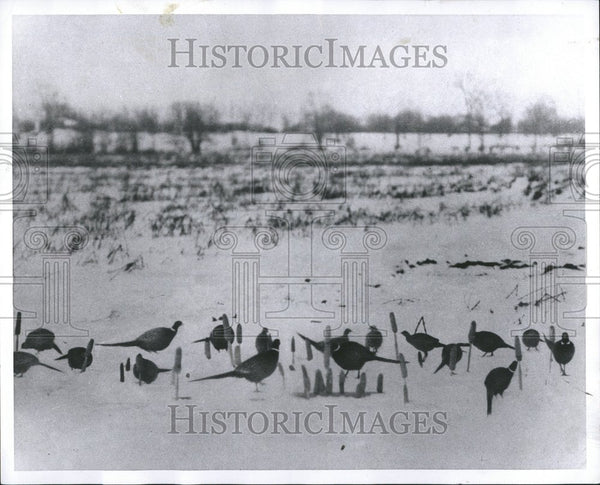 1959 Press Photo Pheasant Corn sickles flock neck thumb - RRV46525 - Historic Images
