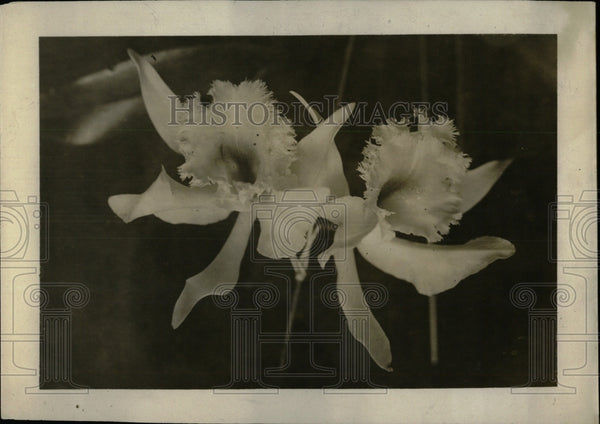 1916 Press Photo Flower Show. white Orchid - RRW69671 - Historic Images