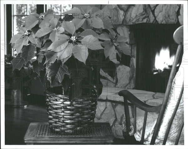 1994 Press Photo Poinsettia Model Plant  - Historic Images