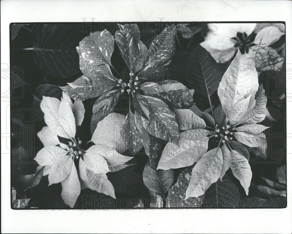 1977 Press Photo Poinsettias Plant Anderson Mexico Snap - Historic Images