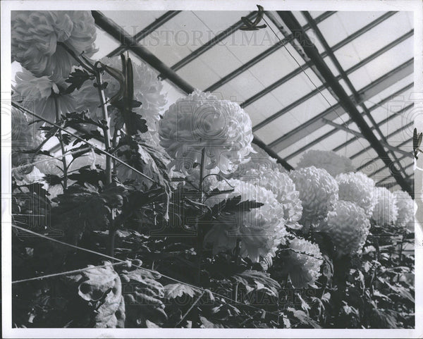 1966 Press Photo Greenhouse Chrysanthemums   - Historic Images